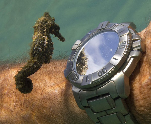 «Морской конек исследует часы дайвера», фото: Don McLeish
