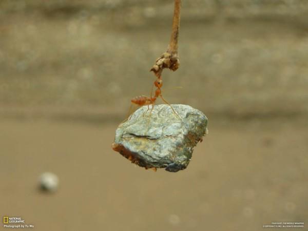 «Невообразимая сила муравья», фото: Yu Wu (National Geographic)